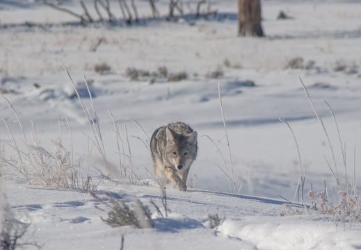 Coyote, Yellowstone National Park, 2019-12-18 (IMGP5724)
