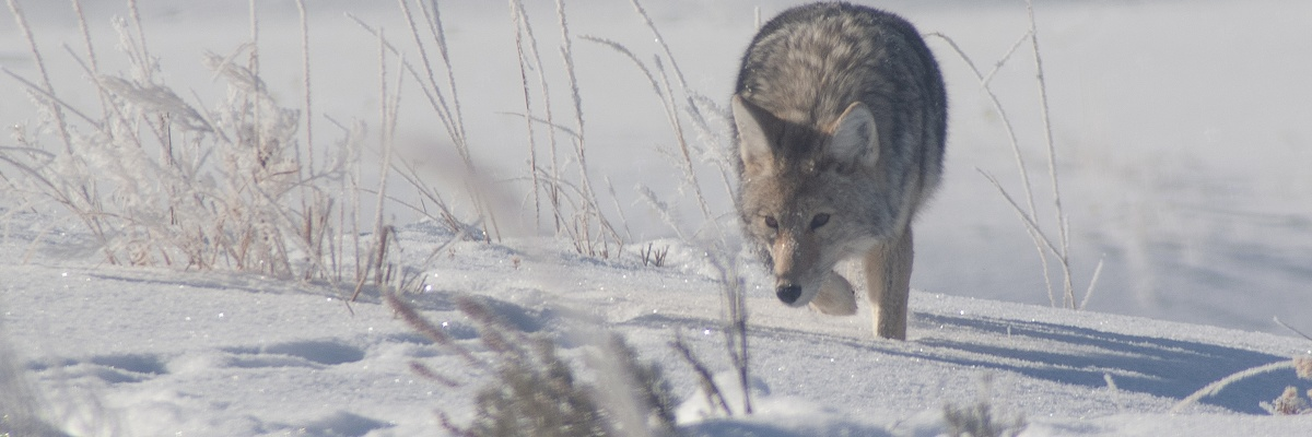 Coyote, Yellowstone National Park, 2019-12-18 (IMGP5725)