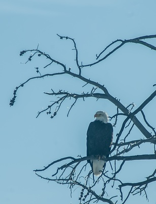 Bald Eagle, Yellowstone National Park, 2019-12-18 (IMGP5843)