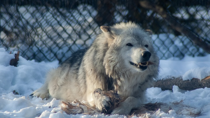 Arctic Wolf, Grizzly & Wolf Discovery Center, 2019-12-22 (IMGP7956)