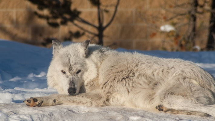 Arctic Wolf, Grizzly & Wolf Discovery Center, 2019-12-23 (IMGP8124)