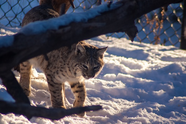 Bobcat, Bearizona Wildlife Park, 2019-12-31 (IMGP1643)