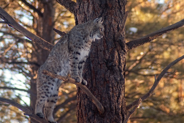 Bobcat, Bearizona Wildlife Park, 2019-12-31 (IMGP1681)
