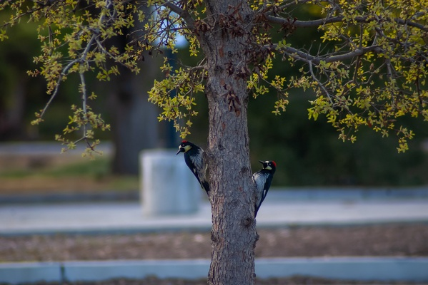 Acorn Woodpeckers, Stanford University, 2020-03-21 (IMGP5127)
