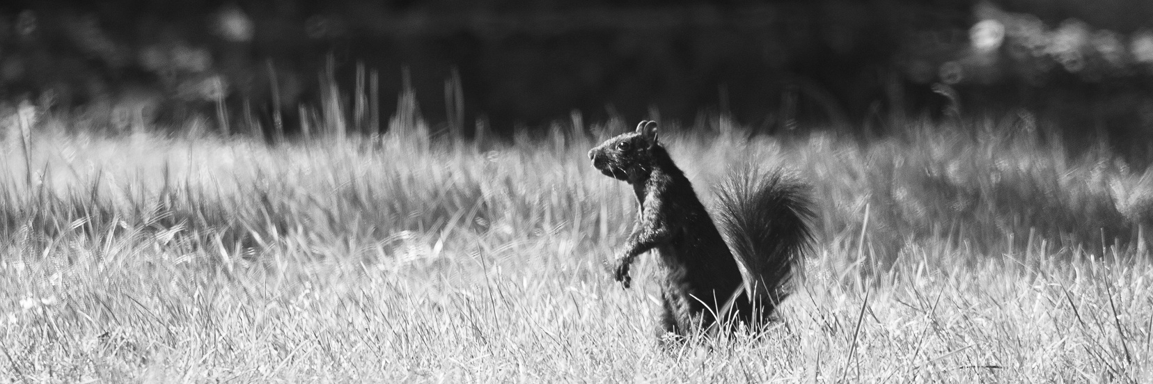 20200501A-IMGP0418-eastern_gray_squirrel-BW.jpg