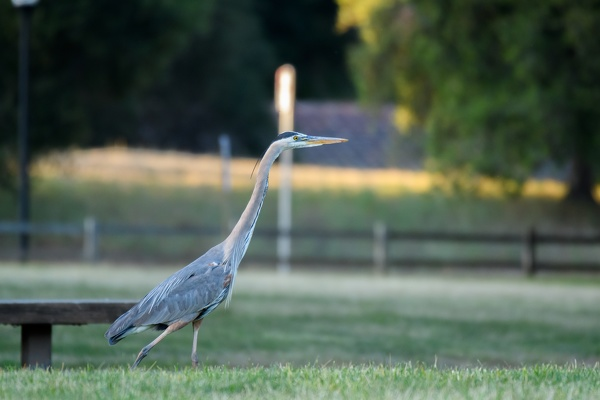 Great Blue Heron, Stanford University, 2020-05-09 (_DSC0351)