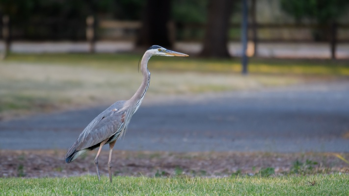 Great Blue Heron, Stanford University, 2020-05-09 (_DSC0361)