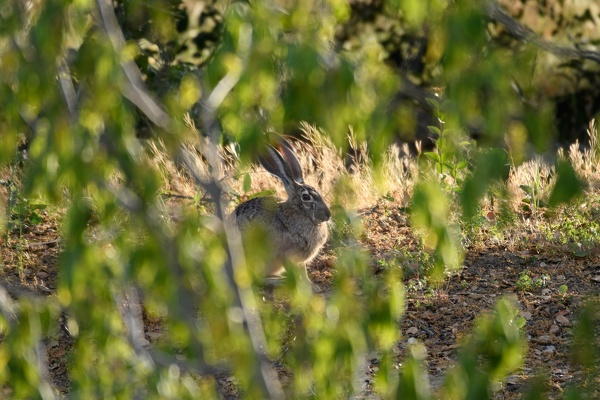 Black-tailed Jackrabbit, Stanford University, 2020-05-15 (DSC_2587)