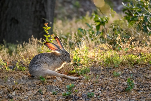 Black-tailed Jackrabbit, Stanford University, 2020-05-15 (DSC_2983)