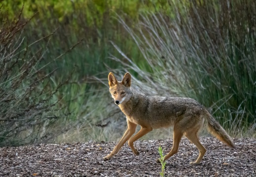 Coyote, Stanford University, 2020-05-15 (DSC_3059)