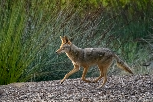 Coyote, Stanford University, 2020-05-15 (DSC_3063)