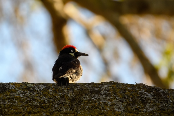 Acorn Woodpecker, Stanford University, 2020-05-18 (DSC_3468)