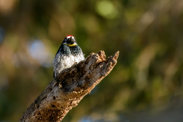 Acorn Woodpecker, Stanford University, 2020-05-18 (DSC_3564)