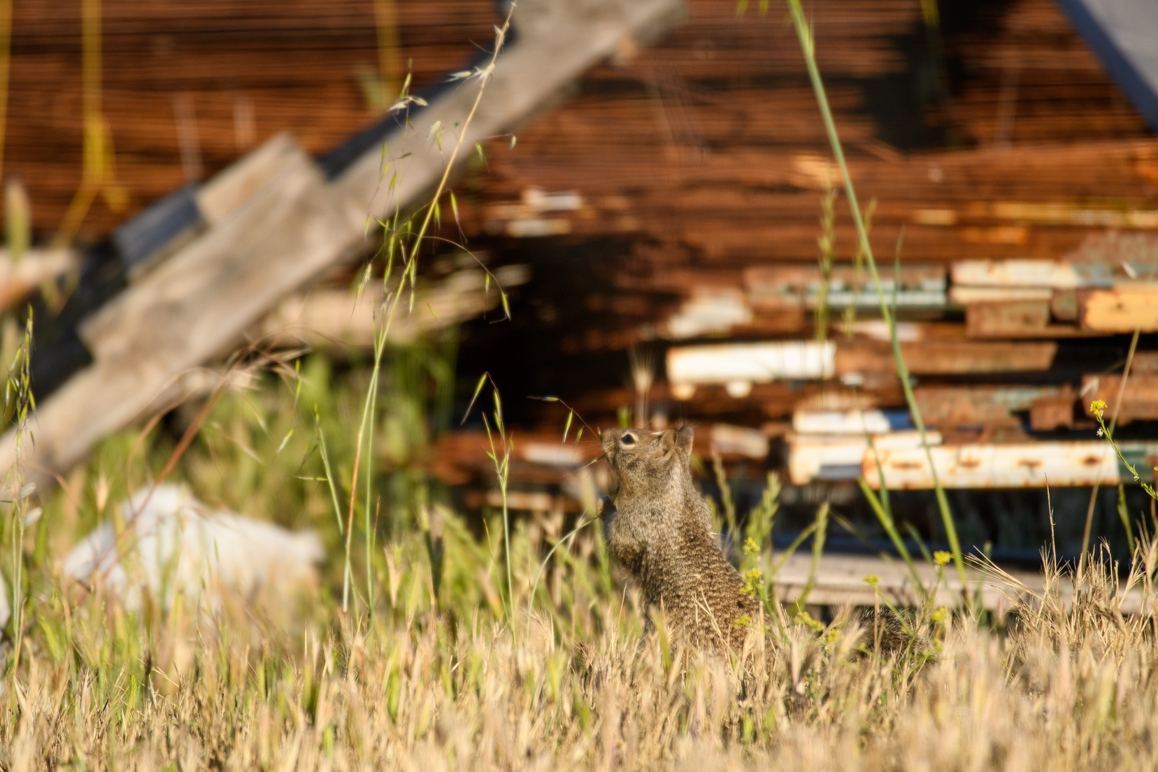 20200523B-DSC_5974-California_ground_squirrel.jpg