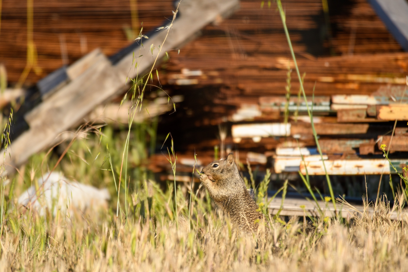 20200523B-DSC_5977-California_ground_squirrel.jpg