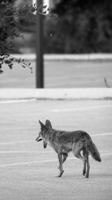 Coyote, Stanford University, 2020-05-23 (DSC_6197)