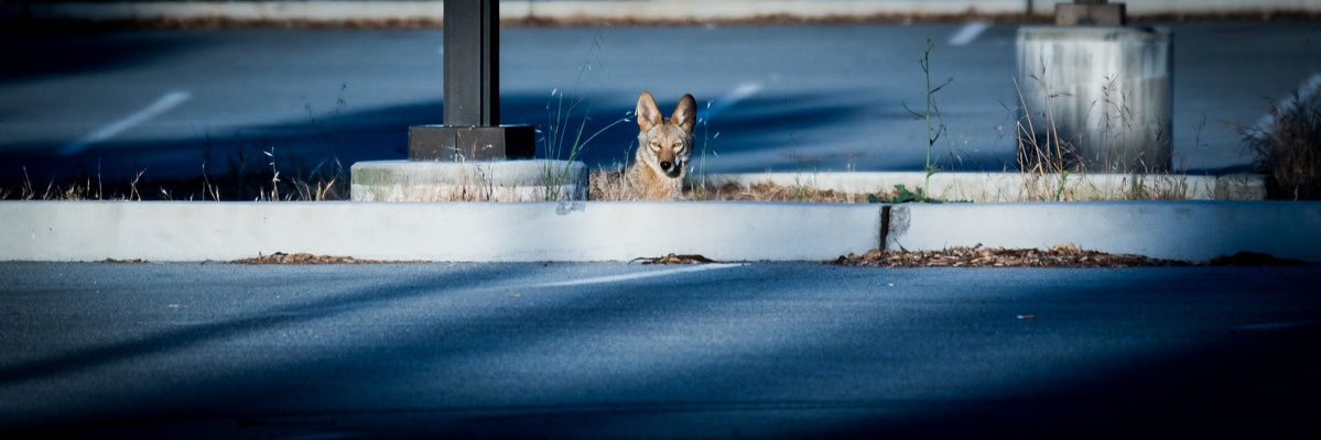 Coyote, Stanford University, 2020-05-24 (DSC_6592)